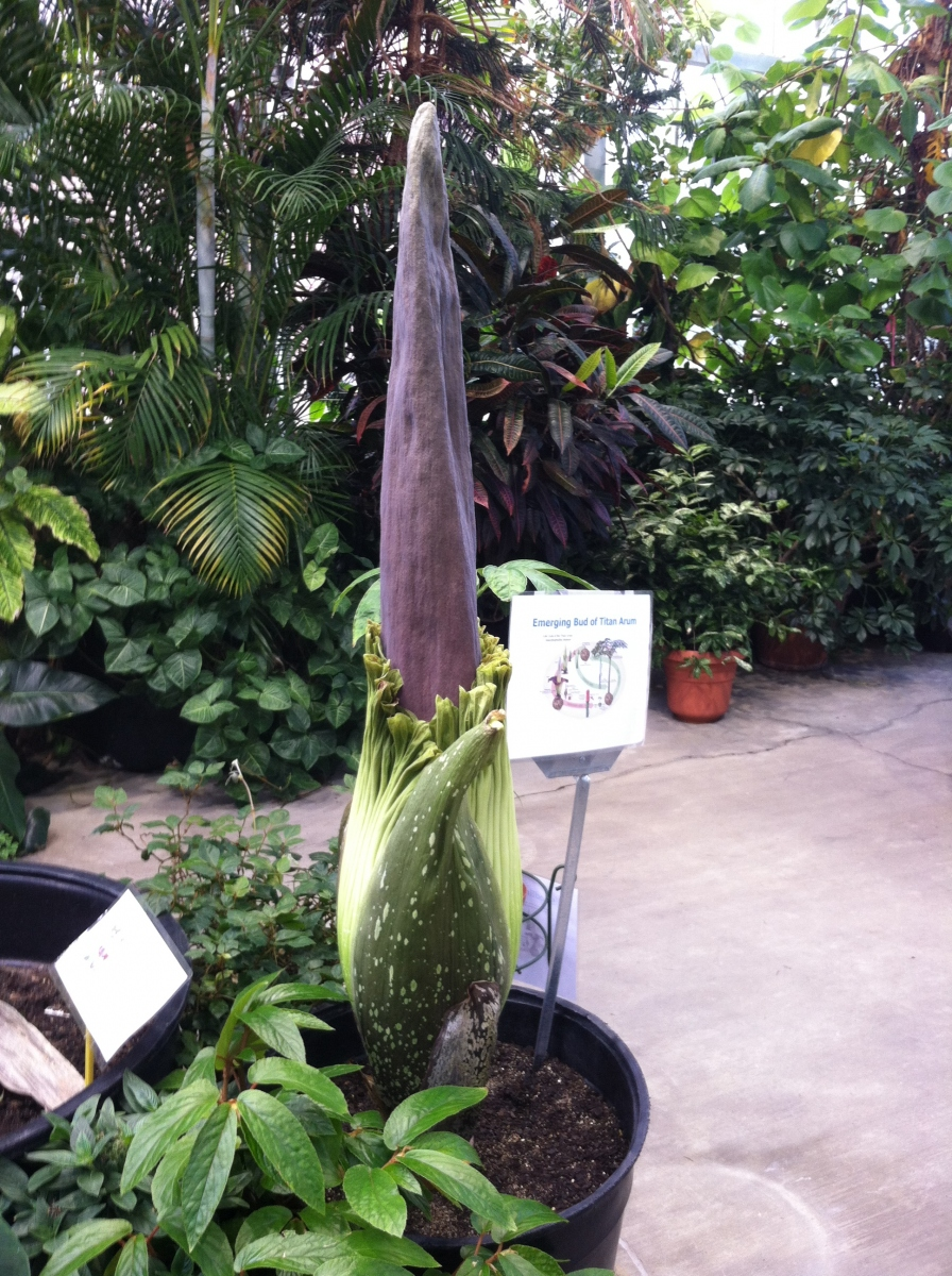 OSU Titan Arum Maudine on May 21, 2013
