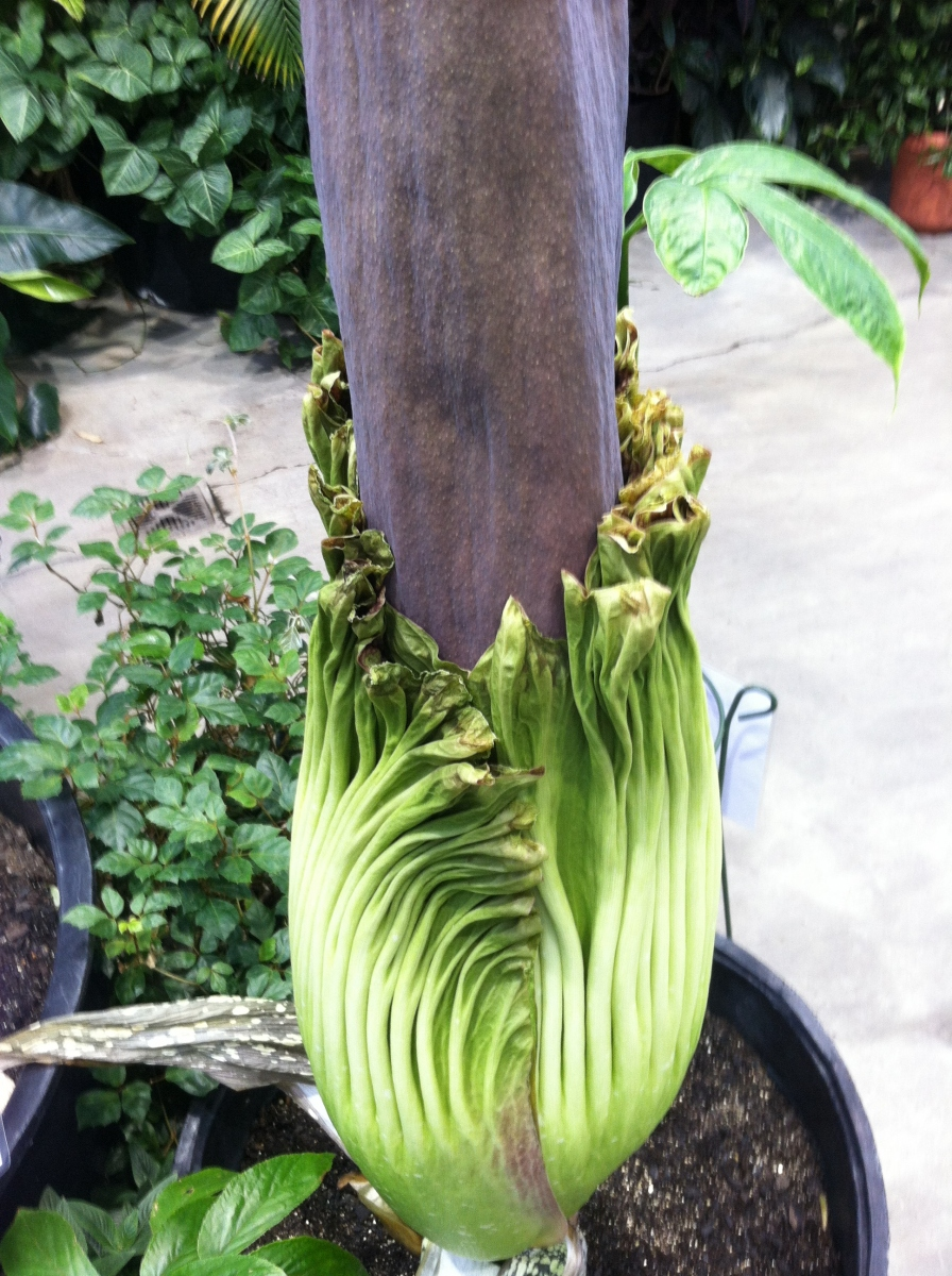 OSU Titan Arum Maudine on May 23, 2013