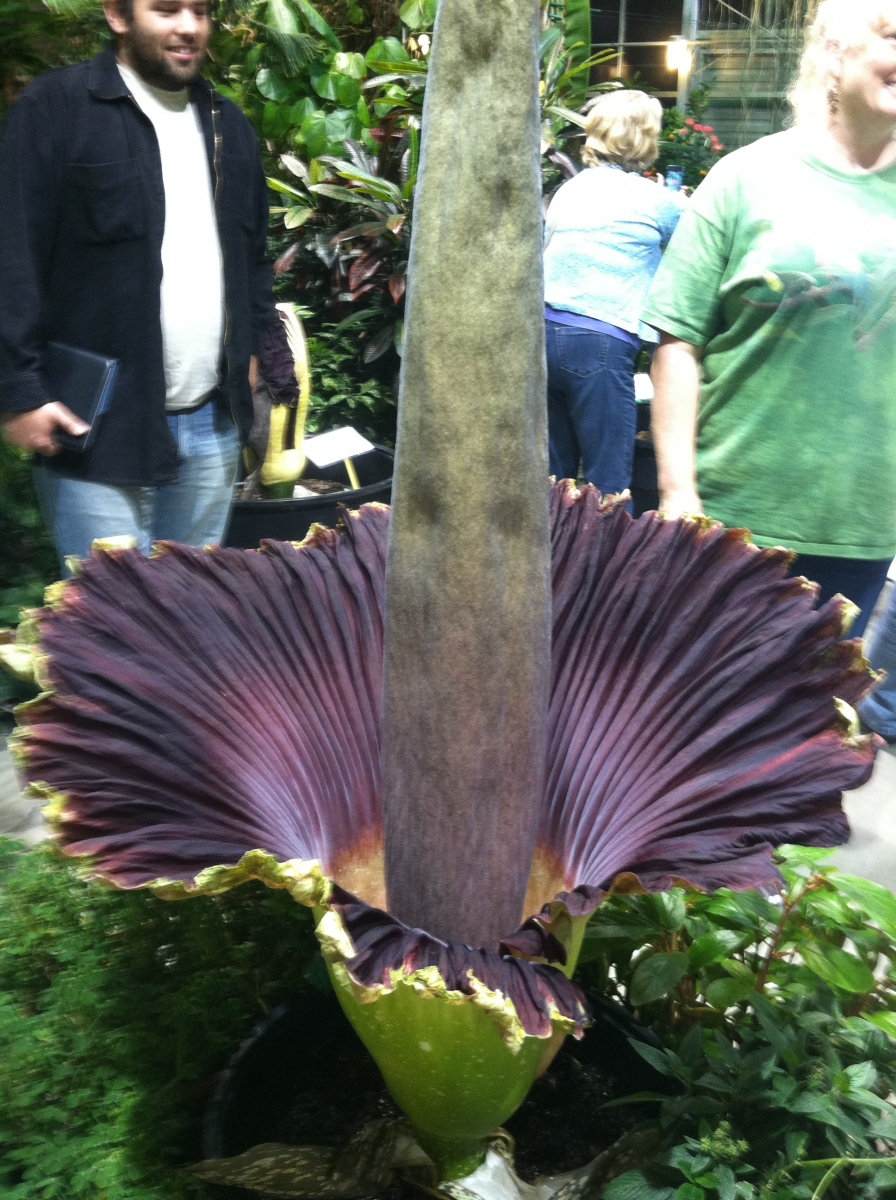 OSU Titan Arum maudine in bloom
