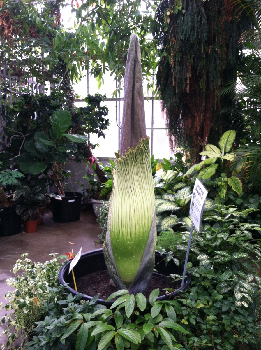 Titan Arum Woody on May 10, 2013