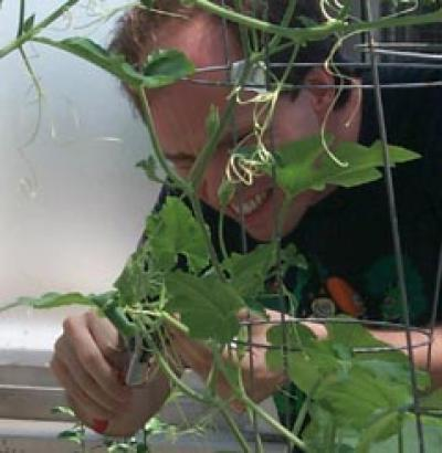 Researcher studying Squash plant