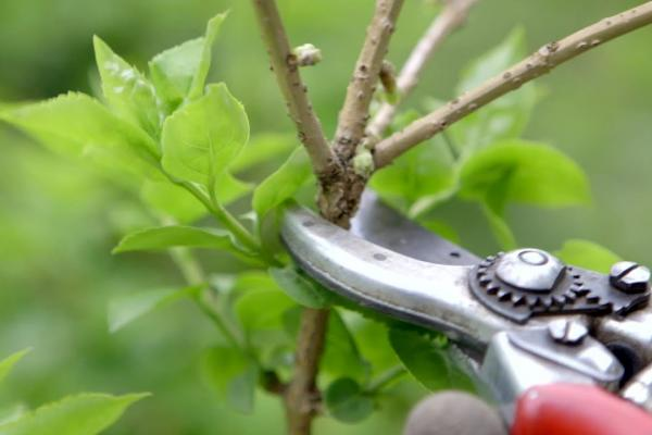 Photo of pruning